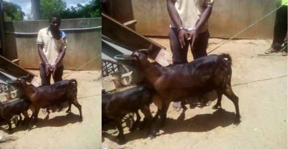 """I asked for it's consent"" – 21-year-old man caught having sex with a goat says"