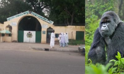 Gorilla allegedly swallows ₦6.8 milllion in Kano zoo