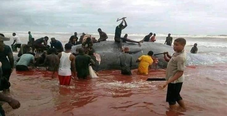 Whale butchered after being washed ashore in Okpoama, Bayelsa State (video)