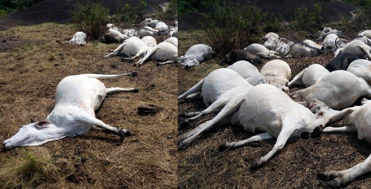 Herdsmen flee after strange thunder kills 36 cows in Ondo (Photos)