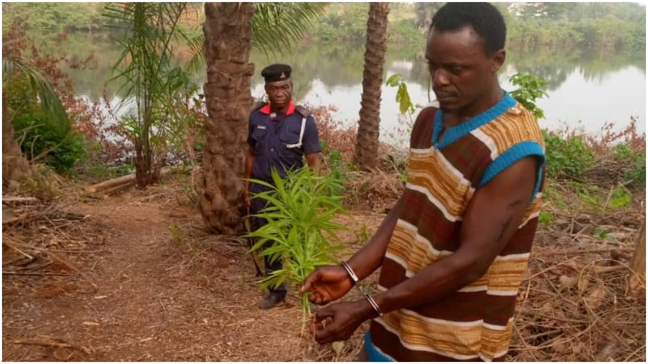 NSCDC uncovers Indian hemp farm in a school compound in Anambra_1