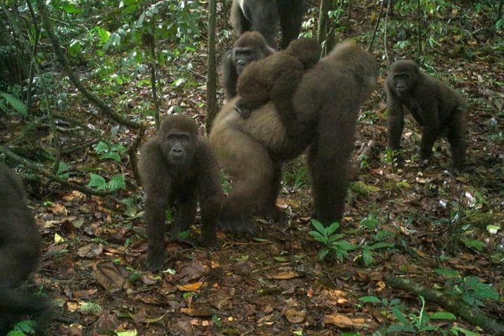 World's rarest gorillas