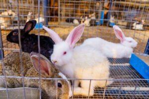 Governor Empowers Youths With Rabbits