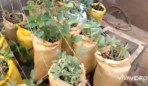 Woman shows off huge tubers of yam harvested from 'sack' farming system (Video)