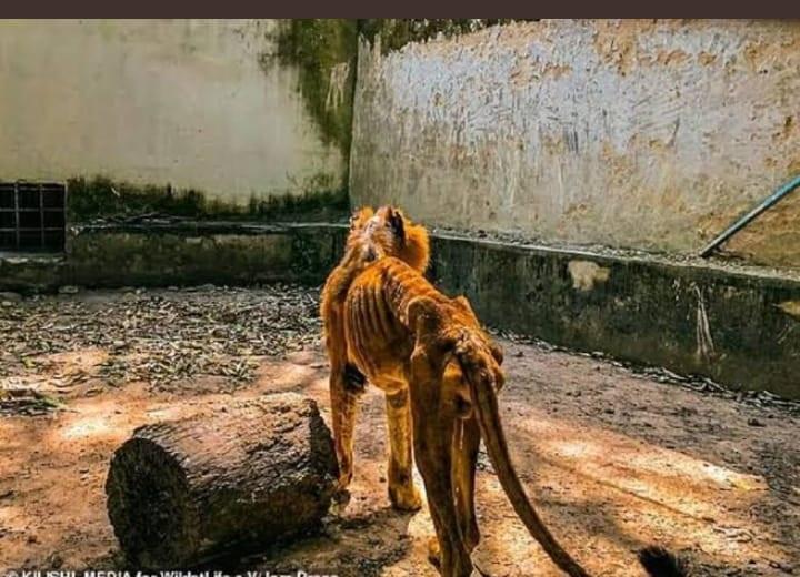 Lion hunger kaduna state